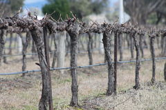 Hunter Valley Vines Royalty Free Stock Images