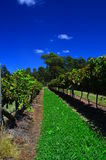 Hunter Valley Vineyard Image stock