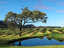 Australian vineyard landscape at spring. The landscape of a wine growing region, the Hunter Valley in New South Wales, Australia, at spring Stock Image