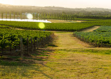 Hunter Valley-Weinberge Stockfoto