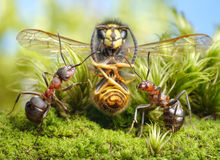 Hunters and dried wasp, focus on ants Royalty Free Stock Images
