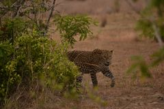 Hunters are hunters ,leopard in srilanka. endemic night`s working properly.it runs faster. Endemic in sri lanka Leopard.spread meat .breastfeeding is very low stock photos