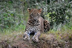 Hunters are hunters ,leopard in srilanka. endemic night`s working properly.the swallow of the sweat. Endemic in sri lanka Leopard.spread meat .breastfeeding is royalty free stock image
