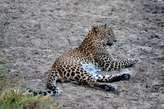Hunters are hunters ,leopard in srilanka. endemic night`s working properly.the swallow of the sweat the water is over Lying animal. Endemic in sri lanka Leopard royalty free stock photography
