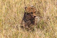 Hunters from Masai Mara. Cheetah after a meal. Kenya, Africa royalty free stock photography