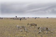 Hunters ( Panthera Leo) royalty free stock photo
