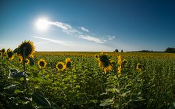 Hunters of the sun. A huge field with sunflowers under the serene blue sky with a bright, warm summer sun. Thin clouds fly the persecuted, the weak breeze Royalty Free Stock Photo