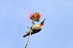 A Hunters sunbird on the branch of red flower Royalty Free Stock Images