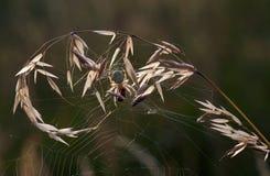 huntig蜘蛛 库存照片