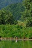 Hunting. Stork walking in San river in Poland Royalty Free Stock Photography