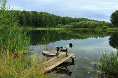 Before hunting. Russian spaniel, indispensable dog for hunting wild ducks Royalty Free Stock Photography
