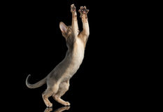 Hunting Abyssinian Kitten Catching Paws isolated on black background Stock Photo