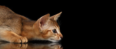 Hunting Abyssinian Kitten on mirror and Looking Right isolated black Stock Image