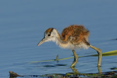 Hunting. African Jacana chick hunting insects in Chobe National Park, Botswana Royalty Free Stock Photo