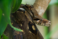 Hunting anaconda. A brown anaconda in the jungle looking for food Stock Photo