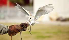 Hunting barn owl Royalty Free Stock Photo