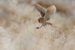 Hunting Barn Owl in morning nice light Royalty Free Stock Photos