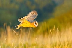 Hunting Barn Owl in morning nice light. Wildlife scene from wild nature. Morning light image with owl. Flying bird above the meado. W Stock Photos