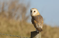 A hunting Barn Owl (Tyto alba) perched on a post. Royalty Free Stock Photography