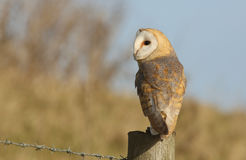 A hunting Barn Owl (Tyto alba) perched on a post. Royalty Free Stock Images
