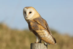 A hunting Barn Owl (Tyto alba) perched on a post. Royalty Free Stock Photos