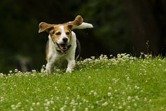 Hunting Beagle Stock Photography