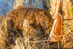 Hunting beaver with prey Stock Images