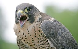 Hunting bird 9 Royalty Free Stock Photography