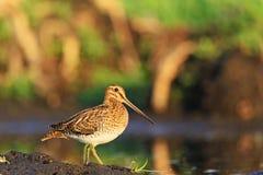 Hunting bird, beautiful snipe Stock Image