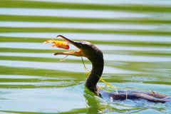 Hunting bird in water for fish stock photo