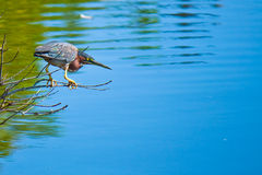 Hunting bittern Royalty Free Stock Photo