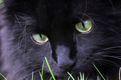 The hunting black cat Stock Image