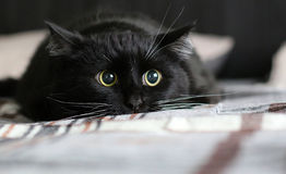 Hunting black cat. Big black home cat hunting for something stock image
