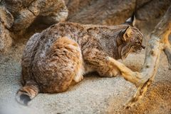 Hunting Bobcat Stock Images