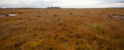Hunting on a bog  with goose profile. Profile of a goose nearby on a bog in hunting Stock Photography