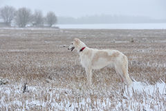 Hunting with borzoi dog Royalty Free Stock Photo