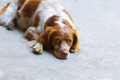 A hunting breed dog rests after a walk stock photos