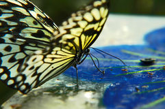 Hunting butterfly Royalty Free Stock Images