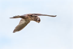 A hunting buzzard is looking for a prey Royalty Free Stock Images