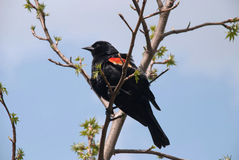 Hunting with a camera. Red-winged Blackbird on a tree branch Stock Images