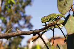 Hunting Carpet Chameleon (Furcifer lateralis lateralis) - Rare M Stock Images