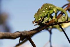 Hunting Carpet Chameleon (Furcifer lateralis lateralis) - Rare M stock photo
