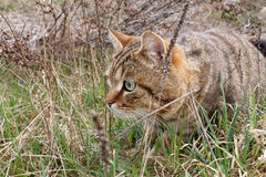A hunting cat Royalty Free Stock Images