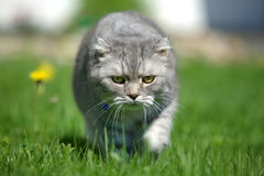 Hunting Cat Royalty Free Stock Photos