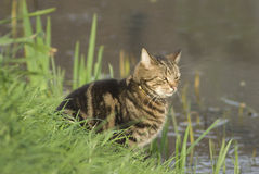 Hunting Cat. Cat waiting by the side of the river to catch some early duck chicks or a fish stock image