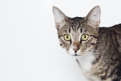 Hunting cat. Animal head on the white background Royalty Free Stock Images