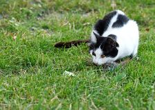 Hunting cat with bird in mouth. Black and white hunting cat with bird in mouth in garden Stock Images