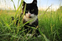 The hunting cat at the countryside at sunset in the summer. stock images