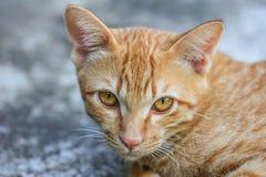 Hunting cat. Cute Cat Royalty Free Stock Image