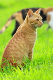 Hunting cat. The domestic cat is a small, usually furry, domesticated, and carnivorous mammal. It is often called the housecat when kept as an indoor pet,or Stock Image